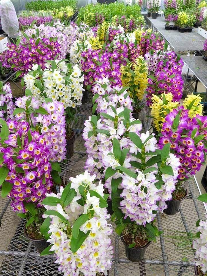 dendrobium thyrsiflorum vegetando em fenda na rocha.    Um mega genero da família orchidaceae, com mais de 1200 espécies. É um dos gênero...