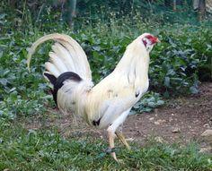 White Muff Game fowl