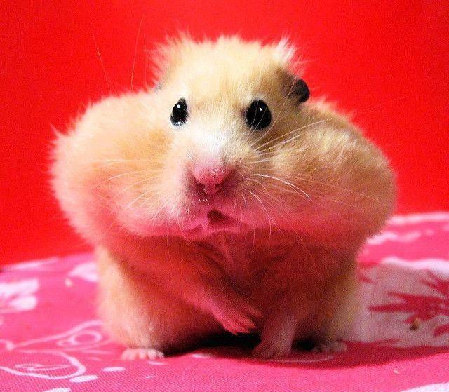 Hamsters Stuffed Hamster