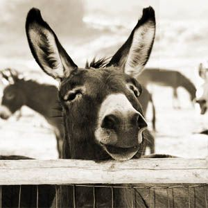The American Donkey is one of the most misunderstood and often the most mistreated animal in our society.  Improving the plight of these incredible animals begins with knowledge.  Please follow the links on the left to learn more.