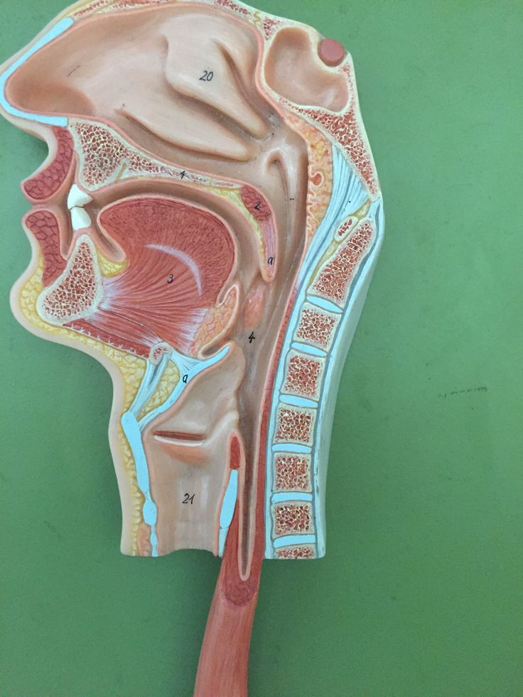Nasopharynx: Passageway for air from nasal cavity to the Laryngopharynx: which extends from the oropharynx to the esophagus and the larynx. Oropharynx extends from the soft palate to the epiglottis. Conducts food and air into Laryngopharynx. Contains two palatine tonsile and one lingual tonsil at base of tongue.
