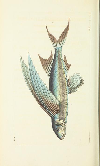 The naturalist's miscellany - Biodiversity Heritage Library #nature #fish #scientific #illustration