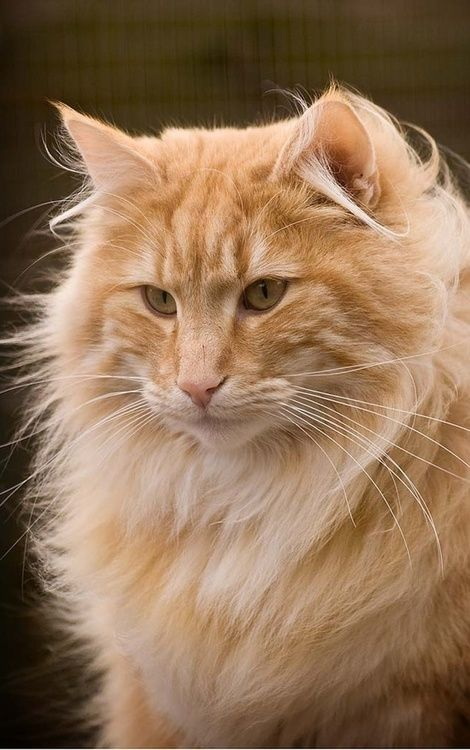 orange Norwegian forest cat