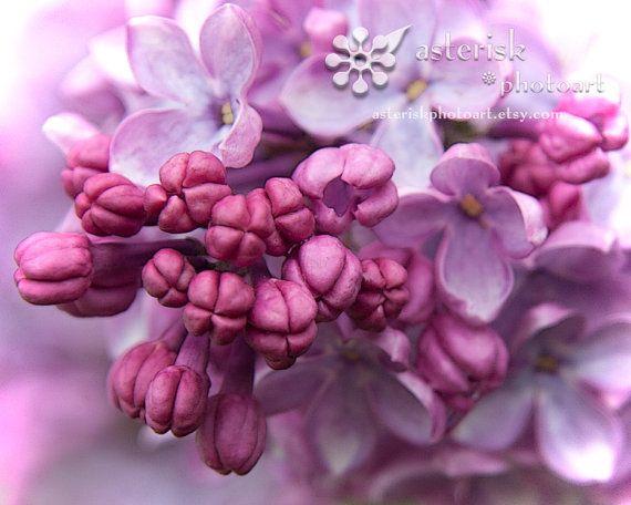Oldfashioned Lilacs 8 X 10 photograph fine art by AsteriskPhotoart, $25.00