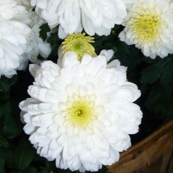 Посевная (полевая) хризантема.  Посевная хризантема вырастает в длину до тридцати-шестидесяти сантиметров.  Листья снизу перистые, а сверху – зубчатые.  Цветы ассоциируются с крупными по размеру ромашками. Они имеют светлые либо темные плоские середины, их цвет белоснежный, серо-желтый либо чисто желтый. Диаметр цветов – три-пять сантиметров.