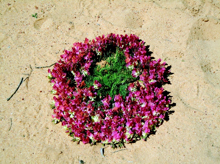 The Wreath Flower is quite rare, only growing in certain parts of Western Australia.