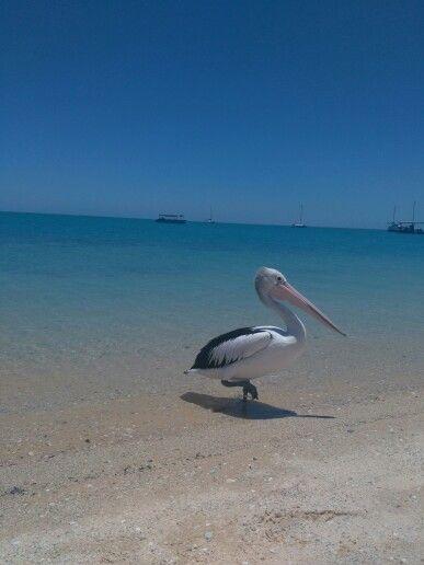 Pelican at Monkey Mia