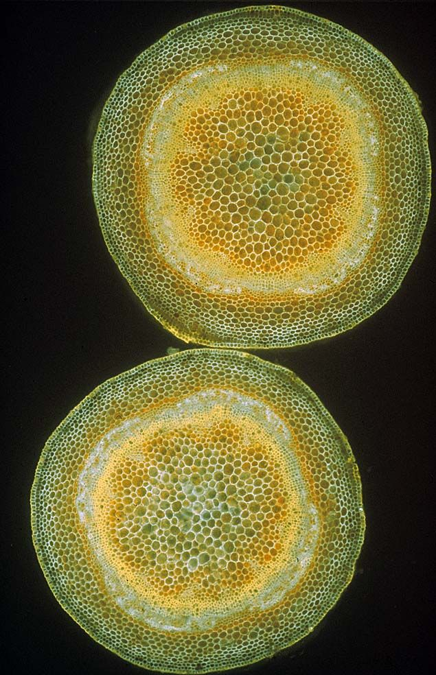 Beyond the Human Eye: xylem.  These (above) are cross sections of stems of two sycamore Acer pseudoplatanus seedlings, just a couple of weeks after germinating from a seed in spring, and already they have begun to produce woody thickening in some of their cells, visible here as the bright yellow fluorescent staining inside the stem (on the periphery of the large pith cells in its core).