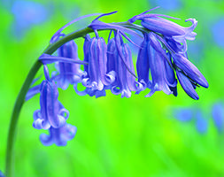 English Bluebells At their happiest when growing in the dappled shade of deciduous trees, English bluebells are ideal for a woodland garden or naturalising in...