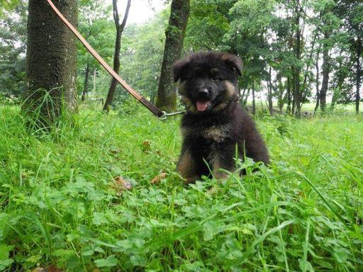Altdeutscher Schäferhund / German Shepherd Dot Puppy