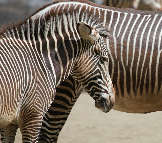 "A young zebra in the zoological-botanical garden ""Wilhelma"" Stuttgart, Germany"