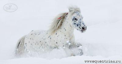 мини-хорс Robin VD Wilpsedijk - лошади - конный рынок - equestrian.ru
