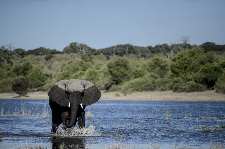 Amazing African elephant having a swim. Chobe Game Lodge, Chobe Botswana // Dominic Loneragan for Match + Feather