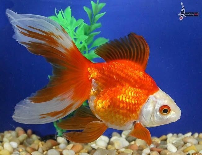 6 Inch Red And White Ryukin Imported Live Fancy Goldfish For Koi Fish Pond Ndk Koifishinformation Fish Ryukin Goldfish Fish Ponds