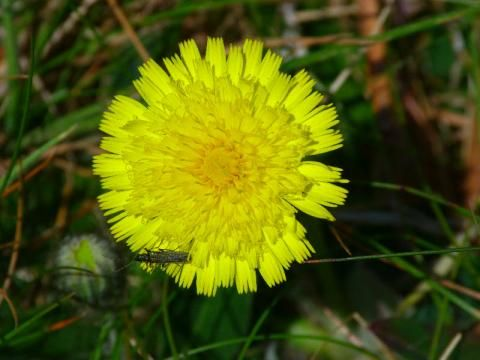 Mouse-ear-hawkweed: just another dandelion | The Nature of Dorset