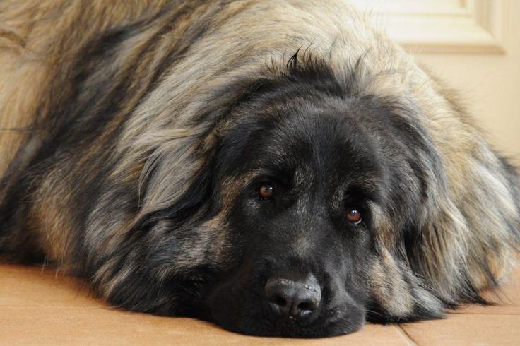 Estrela Mountain Dog: Rare Breed. Not AKC Recognized.    Contact: Estrela Mountain Dog Association of America, Tracey K. Conner, 102 Cherokee Drive, Shickshinny, PA 18655; 570-256-3976; Email: secretary@emdaa.com    Contact: Estrela Mountain Dog USA, Michelle Tefft, 10279 Sampson Road, Erie, PA 16509; 814-824-4906; michelle@estrelamountaindogusa.com