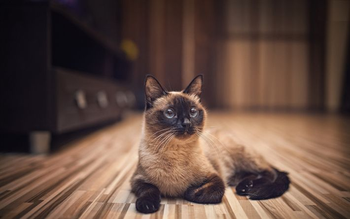 Download wallpapers 4k, Siamese Cat, pets, cute animals, cats, blue, Siamese