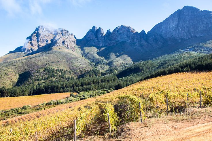 The rise of Chenin Blanc - South Africa's wine