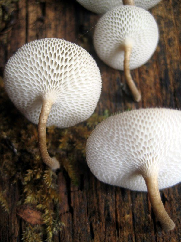 Hexi Pored Polypores... Mushrooms by ~ReflectTheStorm1 on deviantART