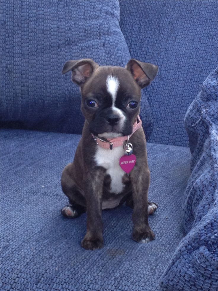 boston terrier puppies rescue the 25 best terrier rescue ideas on pinterest boston 1604