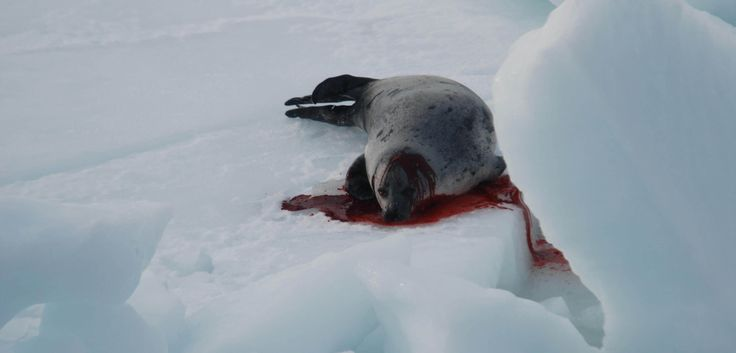 Ask Justin Trudeau to End Canada's Commercial Seal Slaughter. http://action.peta.org.uk/ea-action/action?ea.client.id=5&ea.campaign.id=66956&utm_campaign=SKINS%20Canada%20Seals%202017%20TY%20Page&utm_source=TY%20Page&utm_medium=Promo