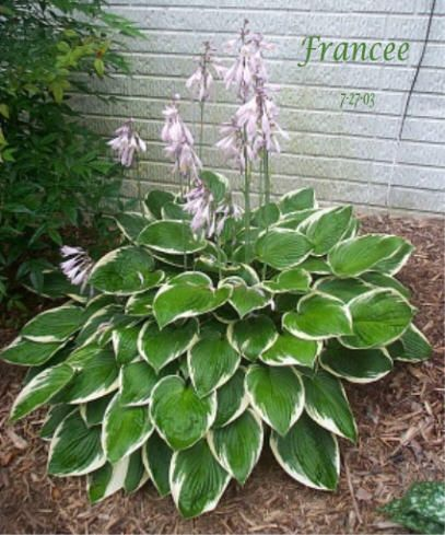 "Hosta Francee: Extremely sun-tolerant or grows well in shade, Francee is green with white margin and lovely lavender blooms in summer. Grows to a scape of about 24"" h by 36"" w."