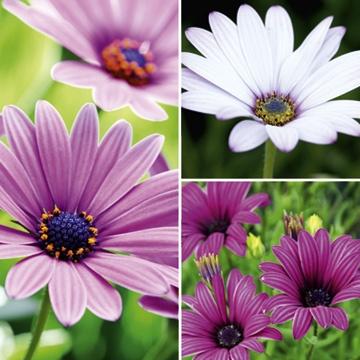 Osteospermum Plant Collection  Ground cover, flower june-sept, prefer full sun.