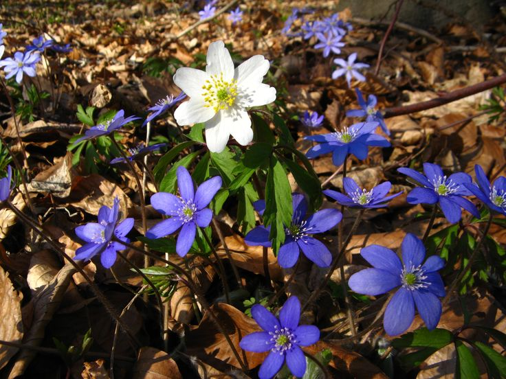 Hepatica and Anemone nemorosa (white)