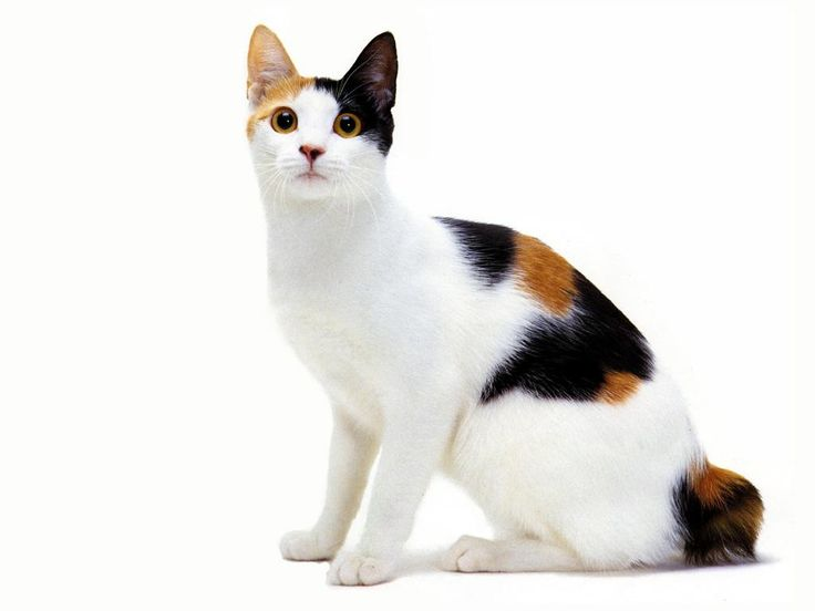 Japanese Bobtail Cat - A link to info on breed.