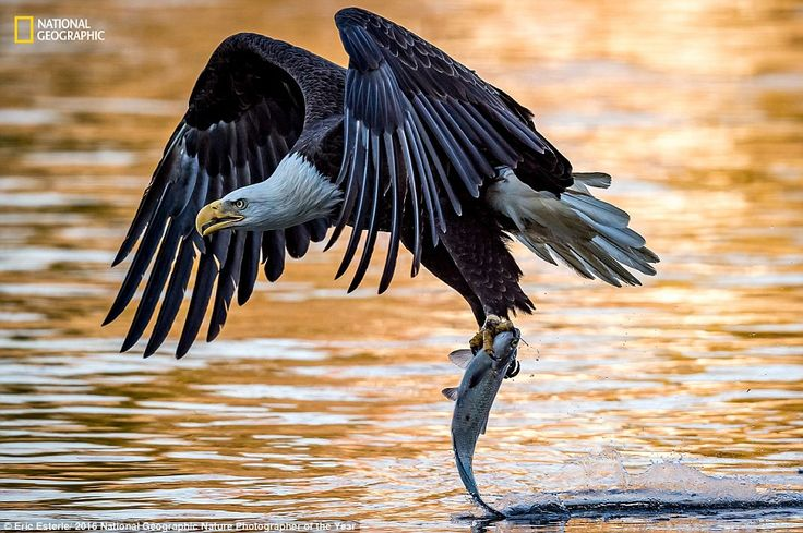 In this dynamic image by Eric Esterle, called Phoenix Rising, a mature bald eagle drags the tail of a fish across the surface of the water after picking it up out of the Susquehanna river on the east coast of America