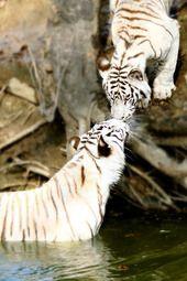 By Uma Mahesh #tigers #whitetigers #safarious