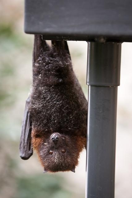 76 Best Images About Fruit Bats On Pinterest Trees