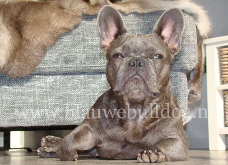 Blue French bulldog - Blauwe Franse bulldog