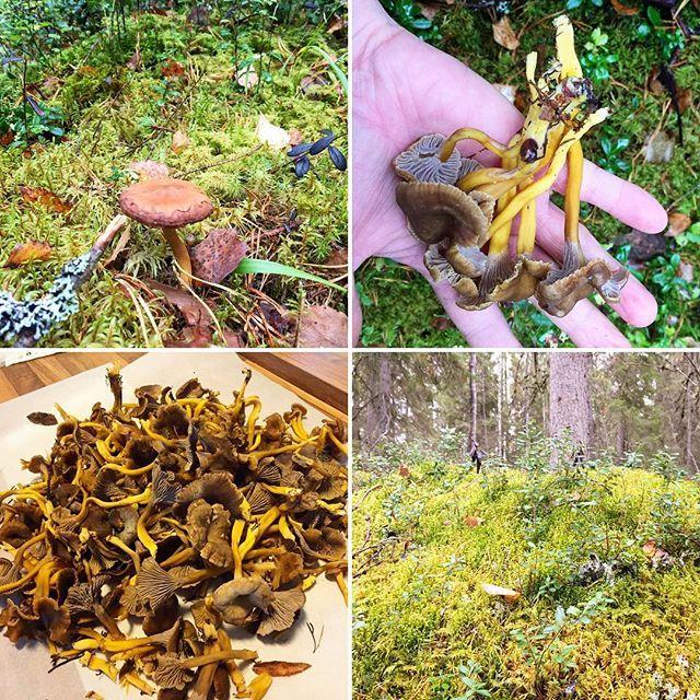 【mikixmiki】さんのInstagramをピンしています。 《After few hours, got a lot;)! * 数時間後…豊作♡ * Paljon ♡ * * #finland #visitfinland #visitfinlandjp #kokkola #visitkokkola #instagramjapan #igs_europe #北欧 #フィンランド #北欧暮らし #finnishnature #naturelovers #natureshots #forest #metsä #leaves #mushroompicking #lahti #syksy #autumn #mushroom #mushroompicking #sieni #土曜日の小旅行 #秋 #落ち葉 #森 #秋色 #きのこ #きのこ狩り》