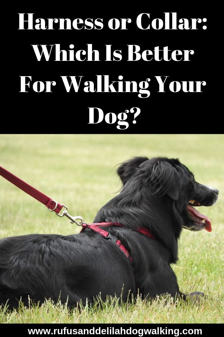 Harness Or Collar Which Is Better For Walking Your Dog Dog