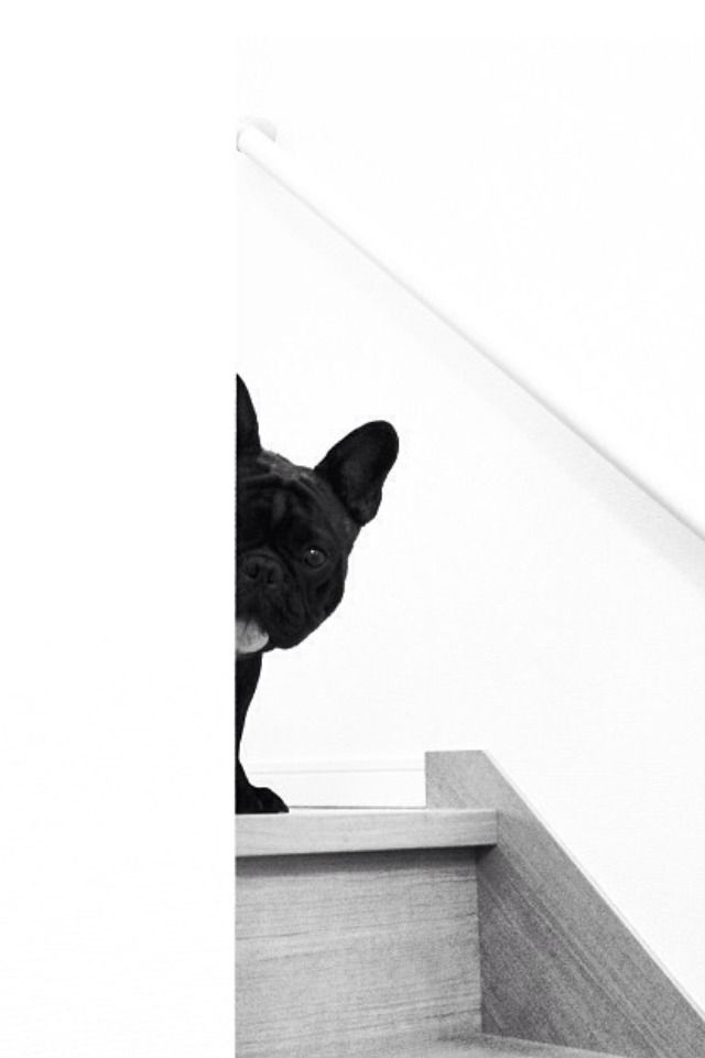 """Peekaboo..."", Sneaky French Bulldog Puppy"