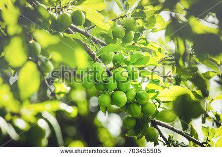 Unripe plum tree. Branch with green plums in a garden. Green organic plum
