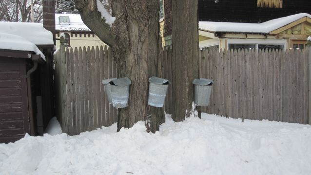 guide to tapping your own maple syrup in urban & suburban areas