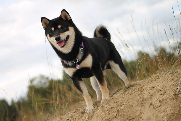 Apprenez tout sur le shiba inu: éducation, origines, toilettage... un chien japonais avec une personnalité de feu!