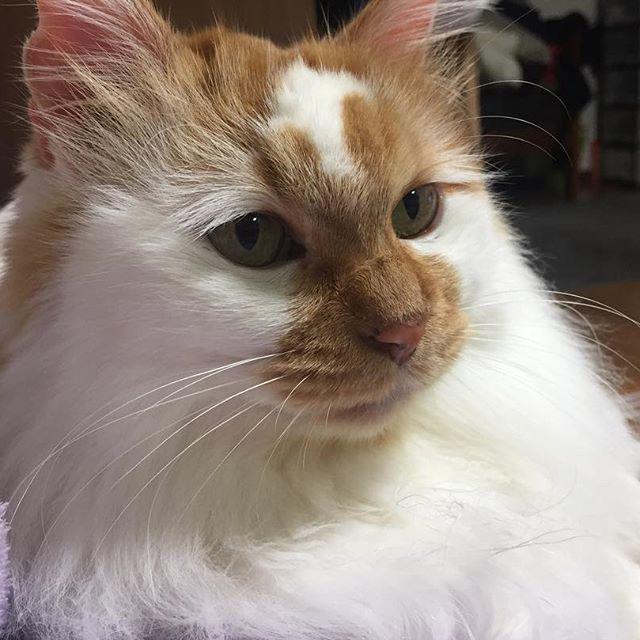 おはようございます✧* . 私が朝起きた事に気がつくとご飯貰えるまで激しいゆきちゃん . 布団から出るまでにゃ〜にゃ〜ガブガブしてきます . 甘噛みでも痛いよ〜💦 . #cat #cats #catstagram #kitten #kitty #kittens  #catoftheday #catsofinstagram #instagramcats #catoftheday #lovecats #lovekittens #catlover  #ilovecat #ilovecats #ilovemycat#catstagram #instacat #instacats #kawaii_cat#愛猫 #保護猫#もふもふ#ふわもこ部#ねこ部#にゃんすたぐらむ#にゃんこ#ねこ#ねこまみれ