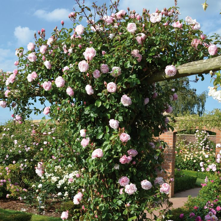 The Generous Gardener - very disease resistant, strong fragrance, award winning climber, repeat flowering