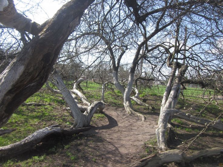 Ukrainian 220-Year-Old Apple Tree Has an Incredible and Unique Way of Staying Alive