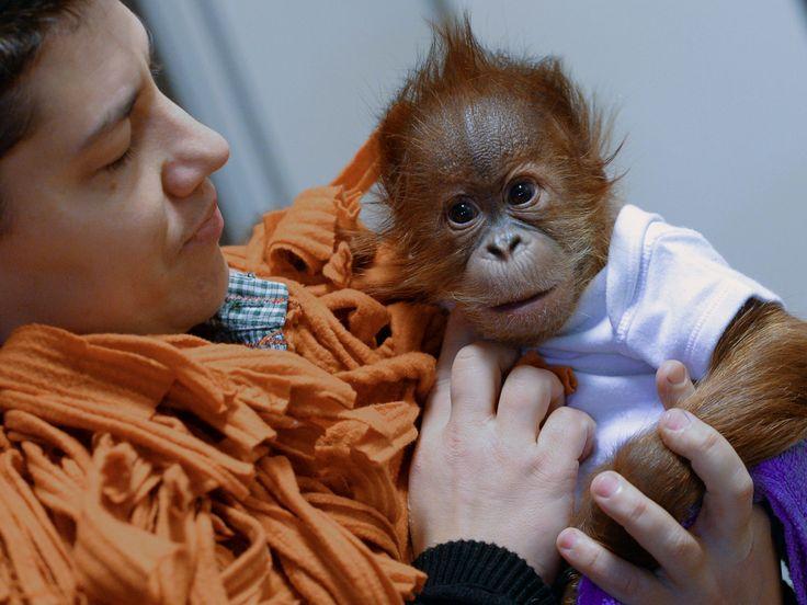 Bayi orangutan bernama 'Bulu Mata' (usia 3 bulan) di kebun binatangBudapest, Hongaria,siap diberangkatkan ke rumah barunya di Monkey World of Dorset, Inggris.