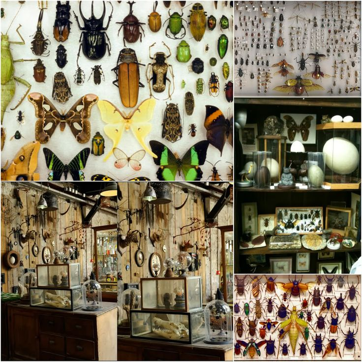 Insect collection, taxidermy  cabinet of curiosity