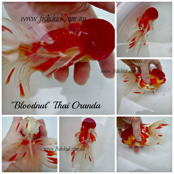 Stunning Highhead Oranda from Thailand contact fishchick@gmail.com for details