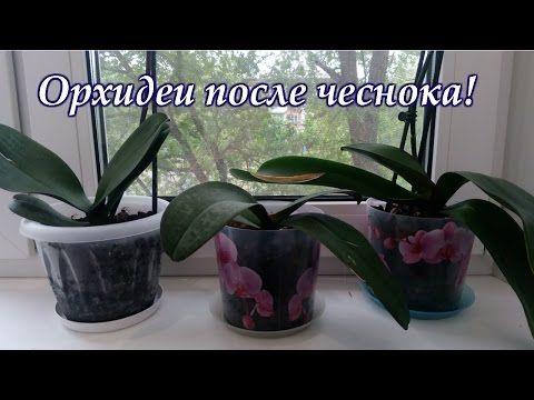 ЧЕСНОК СНОВА ПОМОГ ОРХИДЕЯМ. ВТОРОЙ ПОЛИВ. - YouTube