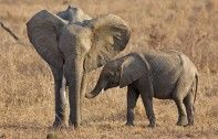 """Jane Goodall - """"Africa's Elephants facing extinction.""""   This makes me so sad ..what is this world becoming.."""