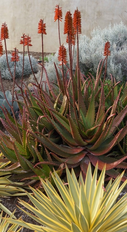 Succulents-Aloe, Agave - photo by HoovB (Gail) | Photobucket, writes Piece of Eden blog