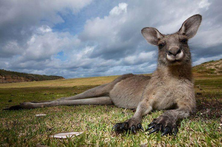 Oltre 1000 idee su Cuccioli Australiani su Pinterest   Cuccioli di ...