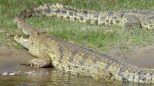 Safari i Uganda, krokodiller - Safari in Uganda #travel #safari #crocodile http://travels.kilroy.no/destinasjoner/afrika/uganda/safari
